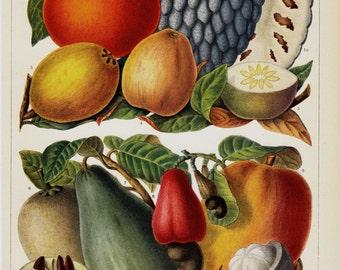 1923 Tropical Fruits old print. Mango, persimmon, cashew