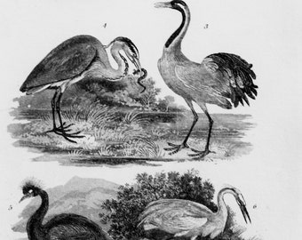 Herons, Cranes, Egrets, Birds. Small 1833 Antique Black and White Print or Engraving