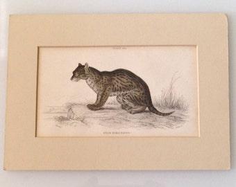 Antique Engraving Himalayan Serval Cat 1830s