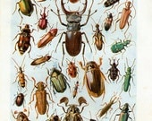 Antique Print, BEETLES INSECTS 6335 1930s wall art vintage color lithograph illustration natural science chart