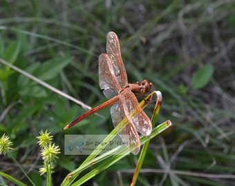 Male Golden Winged Skimmer Dragonfly Photography, Dragonfly Photo, Dragonfly Picture