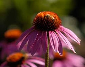 Purple Coneflower Seeds, Echinacea Purpurea, Medicinal Herb Plant, Flower Essence Plant, Wildflower, Perennial