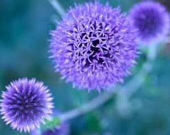 Globe Thistle Seeds, Echinops Ritro, Perennial Plant, Blue /Purple Flower,  Low maintenance, Drought Tolerant
