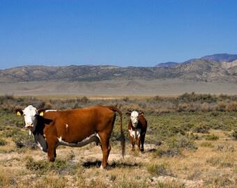 UTAH Free Range Cow and Calf, Mountains, Calf, Pasture