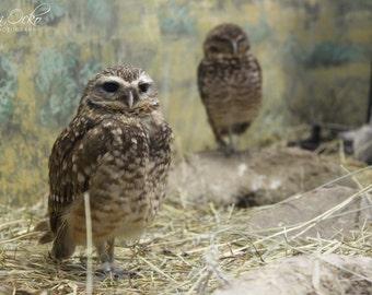 Owl Photography Print