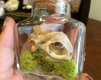 Real Turtle skull in corked glass jar- (medium)