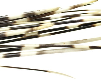 African Porcupine Quills 12-14"