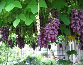 New Home Garden Plant 1 Seed Rare Mucuna Sempervirens Vine Flower Seeds