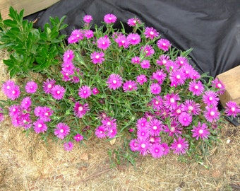 Drought Tolerent Ice Plant