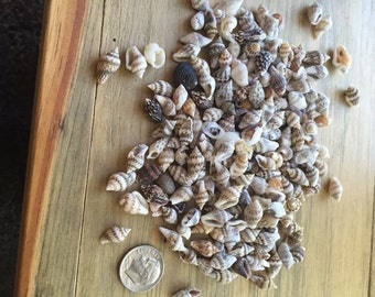 Tiny shells Genuine all natural mini/small sea shells craft shells wedding table scatters floral filling 7 ounces
