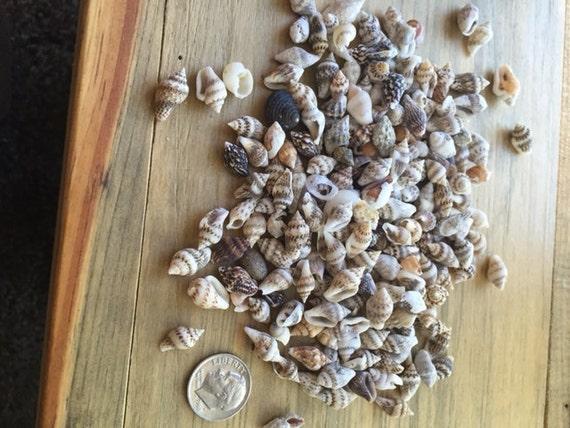 Tiny shells genuine all natural mini small sea shells craft for Tiny shells for crafts