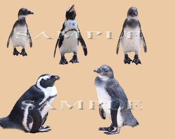 Penguin PNG Overlays