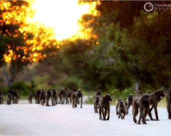 Wild Baboons, Africa, Kruger Park, South Africa, wildlife photography