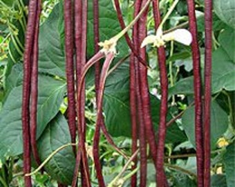Chinese Red Noodle Beans Heirloom Vegetable Seeds, Naturally Grown in the Pacific NW