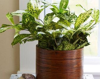 Dracaena Florida Beauty - Houseplant