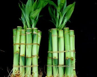 20 Stalks of 4 Inches Straight Lucky Bamboo  (FREE SHIPPING)