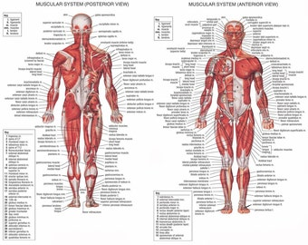 Human Body Anatomical Chart Muscular System poster