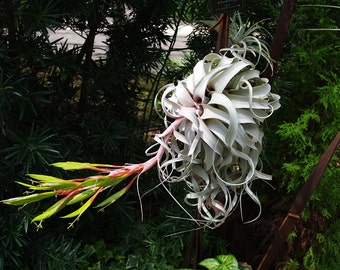 Air Plant | Xerographica Tillandsia | The Queen of Air Plants