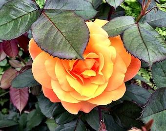 Yankee Doodle Rose