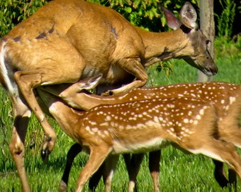 fawns and doe.