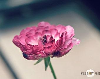 Pink Ranunculus Fine Art Flower Photography