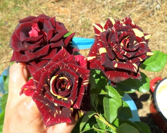 Rare * Abracadabra rose * long lasting magical roses* 1 live flowering plant*