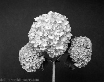 Limelight Hydrangea Tree Flower Limited Edition Fine Art from 4x5 Large Format Film