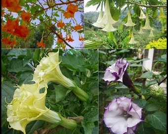 "10 Mixed Devil's Trumpet / Datura Metal ""10 Seeds/ Pack"""