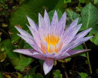 100 Suwanna water lily seeds - Water Lily-Nympheae The new and extreamly Rare