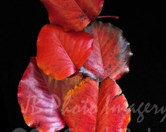 AUTUMN COLORS- Red leaves, fall colors, fall colours, fine art  photography, red on black, autumn, fall