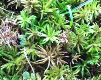 Palm Tree Moss
