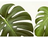Nature Photography  - Green  - Botanical -  Fine Art Photograph - Plant - Green Leaf - Monstera - Verdure #6 - Botanical Art - Oversize