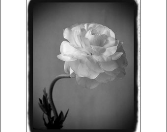 Floral Art Print, Ranunculus Print,  Black and White Photography, Flower Wall Art