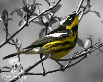 Magnolia Warbler in Select Color