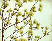 Dogwood tree flowers / nature photography / pale celery green / spring botanical print / tree branches art / 'Green Dogwood'