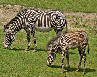 Baby Zebra, Mare and Foal, Baby Animal, Zebra Photograph, Childerns Room, Nursery Decor, Boys Room Print, Animal Print, Black And White