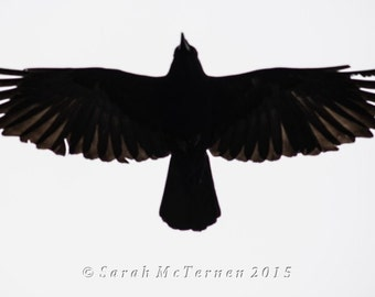 Black Crow Photograph with Wings Spread in Flight - The Messenger - Art Photography by Sarah McTernen