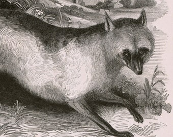 1840s-1850s Antique Engraving of the Fox