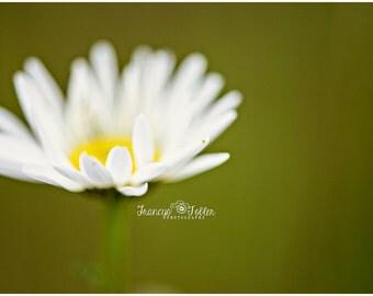 Spring Wild Daisy 2 Flower Fine Art Canvas wrap-