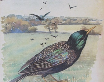 STARLING,1970s Botanical Print of 1906 Edith Holden Water Color, November/Unframed Book Page Print/Home Decor/Colorplate