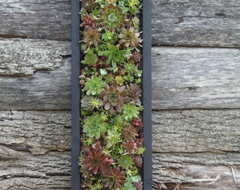 """Succulent Living Wall, READY  to HANG 24"""" x 8"""""""