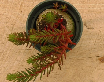 Red Wiggles Sedum, Stonecrop, Sedum, Winter Hardy Potted Plant