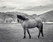 Modern Horse Photograph, Black and White Equestrian Art