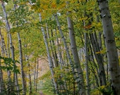 Foot trail through Birch forest Michigan's Pictured Rocks National Lakeshore color print