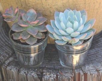 """SAMPLE 1  Beautiful 2.5"""" Rosette Succulent with 1 Mercury Flower Pot Votive, Perfect for Any Event! Succulents, Favors, and Gifts+"""