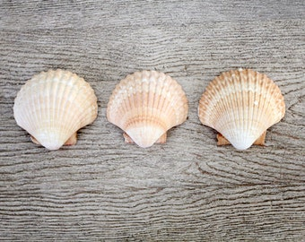 Mexican Cup shells, vintage seashells, wedding table decor set/3