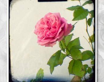A single rose: floral photograph. Pink, nature wall art and girls room decor. TTV vintage style signed photo, everlasting valentines gift.
