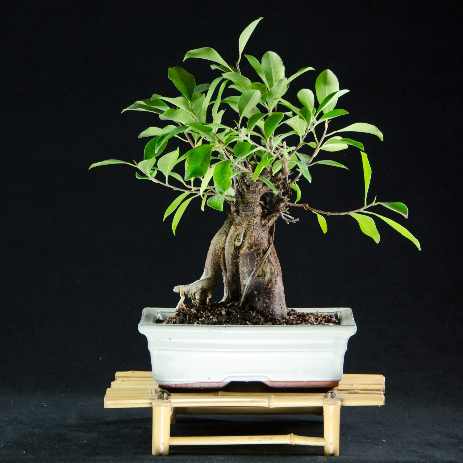 ginseng ficus kifu bonsai tree ficus microcarpa 8518 1. Black Bedroom Furniture Sets. Home Design Ideas