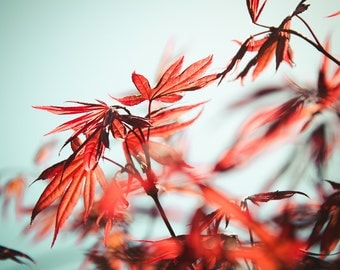 Japanese Maple Fine Art Photograph