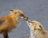 Red Fox photo, two fox kissing, romantic wall art, orange and brown decor, cute animal print, nature photography